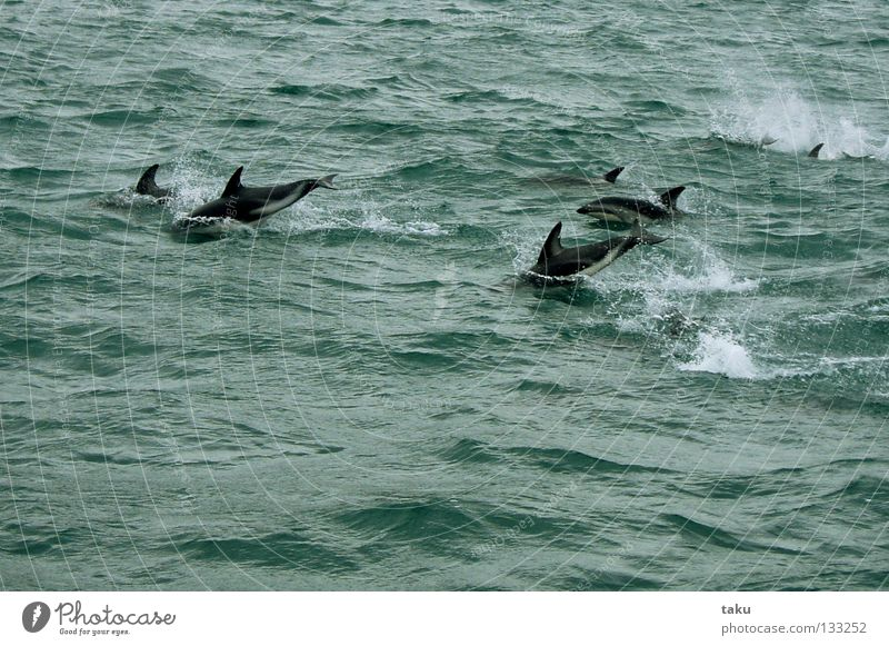 JUMP OF THE DOLPHINS New Zealand South Island Dolphin Mammal Ocean Green White Waves Jump Playing Acrobat Acrobatic Watercraft Natural phenomenon Exciting p.b.