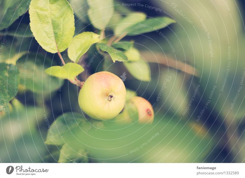 apple season Nature Summer Autumn Beautiful weather Tree Leaf Garden Meadow Field Natural Round Juicy Yellow Green Apple Apple tree Delicious Organic produce