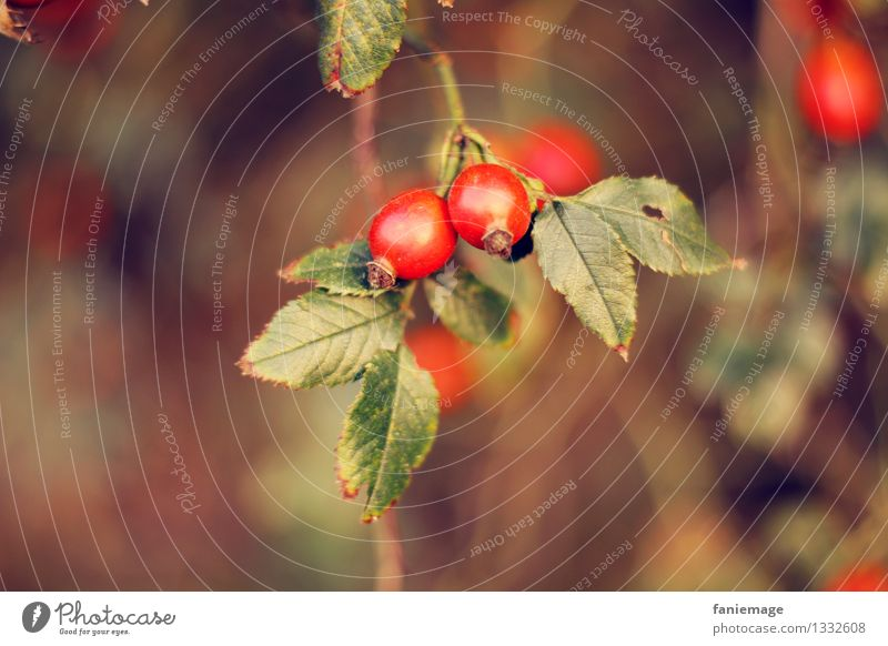 rose hip Nature Autumn Beautiful weather Bushes Leaf Garden Park Field Brown Gold Green Red Autumnal Warm colour Rose hip Twigs and branches Blur Fruit Plant