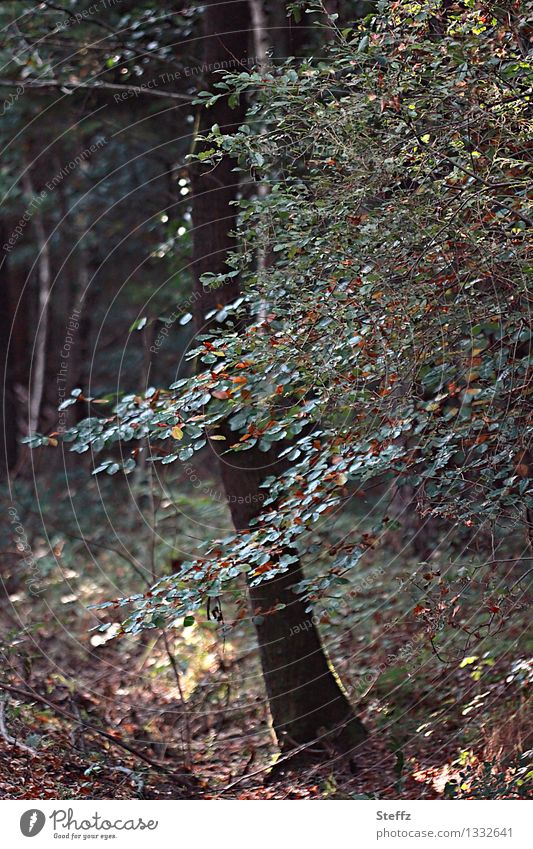 Forest bathing in September Beech tree beech leaves End of the season change of seasons beech branch Transience forest bath forest air Deciduous forest