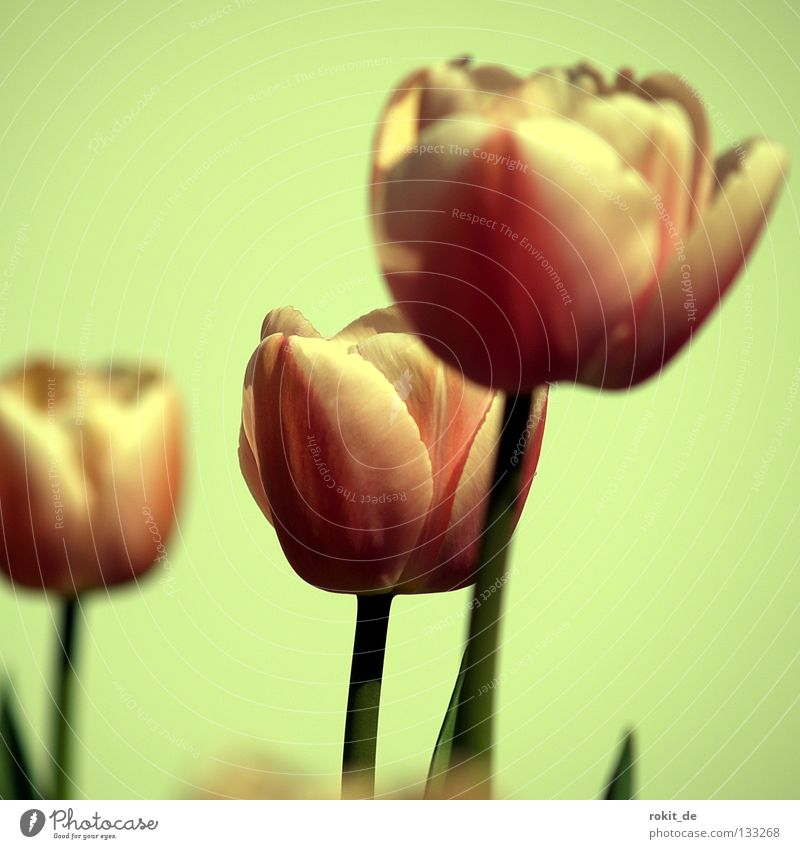 tulips Tulip Flower Lily plants Amsterdam Netherlands Stalk Blossom Spring January February March Onion herald of spring