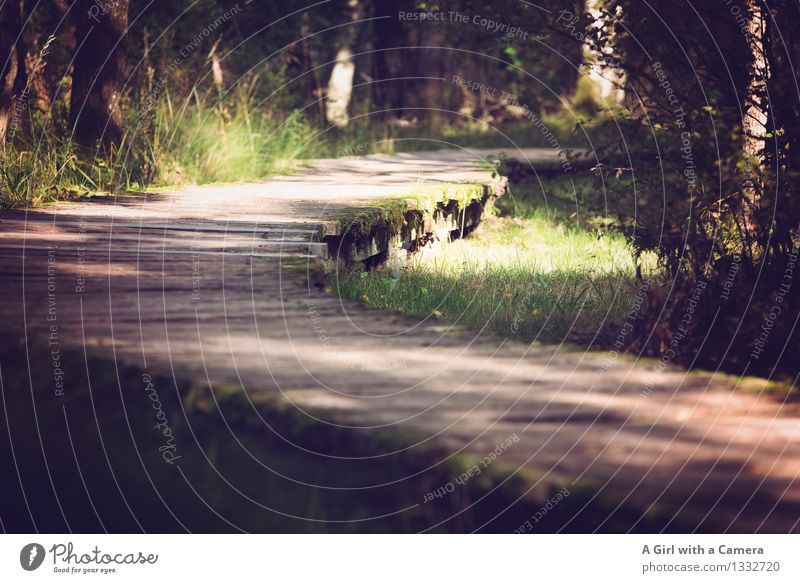 On the wrong track of life Environment Nature Landscape Plant Summer Autumn Beautiful weather Grass Forest Bog Marsh Sustainability Natural Curved Wood Woodway
