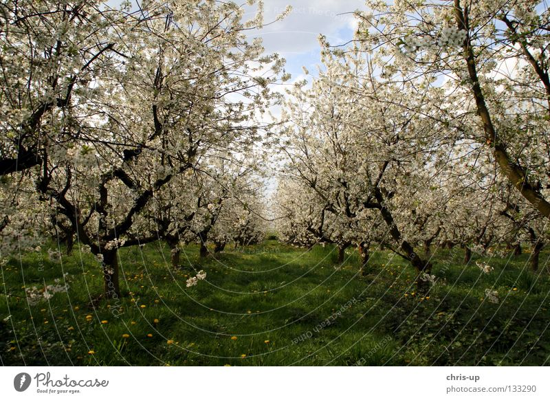 cherry blossom Cherry Cherry blossom Blossom Spring Agriculture Plantation Tree Field Row of trees Meadow Flower Summer Spring fever Fruit Cherry tree cerasus