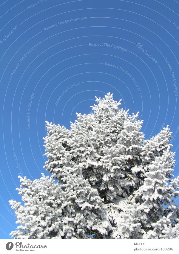 White Tree Blue Winter Cold Snow Ice Hoar frost