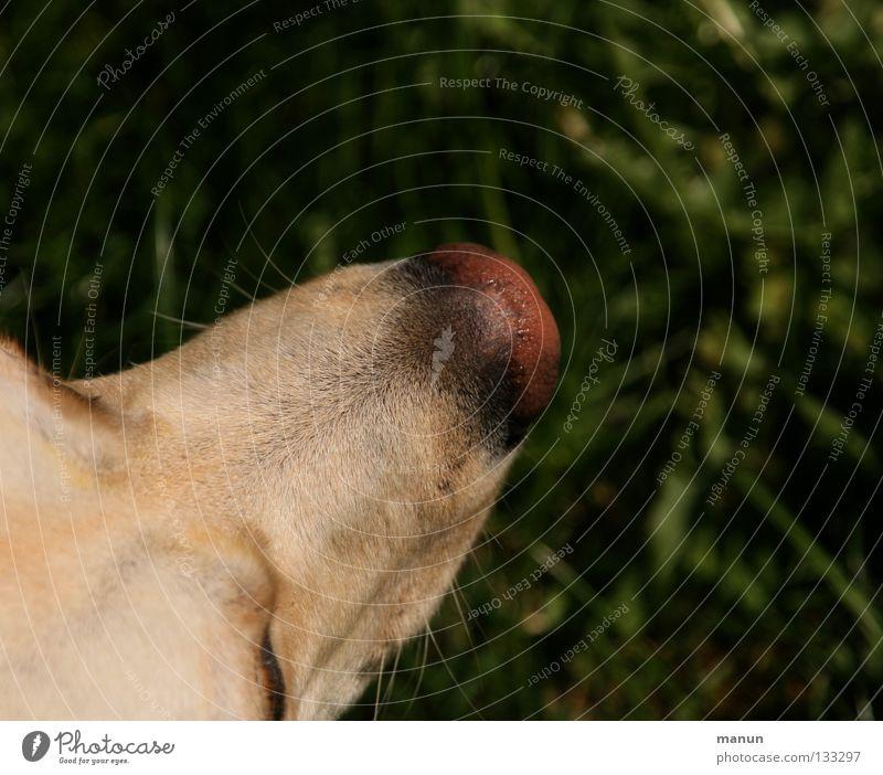 Green Calm Animal Dark Grass Dog Bright Blonde Nose Serene Damp Mammal Labrador Dog's head Tip of the nose