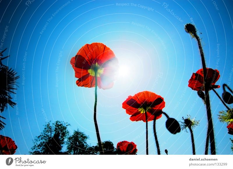 Summer is coming! Poppy Corn poppy Red Light Sunbeam Spring Flower Blossom Light blue Cyan Silhouette Back-light Celestial bodies and the universe Sky