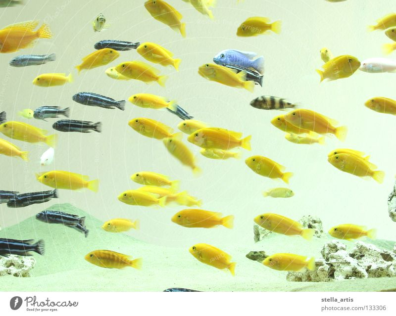 floating fish part 2 Aquarium Yellow Striped Maritime Hover Weightlessness Direction Calm Relaxation Fish Colour Blue Water Flock