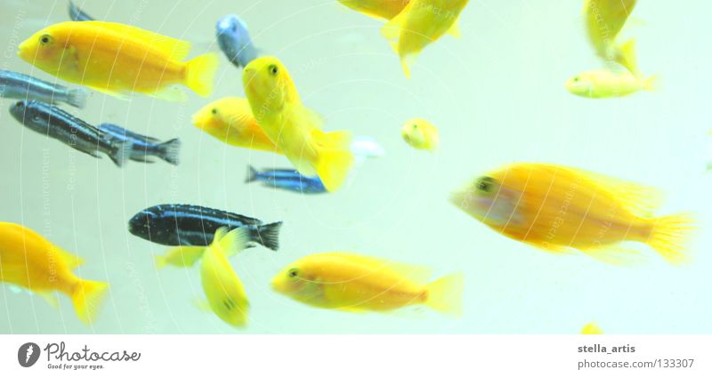 floating fish detail Aquarium Yellow Striped Maritime Hover Weightlessness Direction Calm Relaxation Fish Colour Blue Water Flock Movement