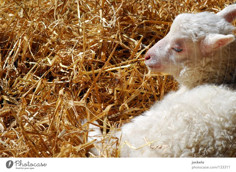 White Animal Yellow Baby animal Grass Small Food Lie Dream Nutrition Soft Break Lawn Agriculture Pasture Pelt