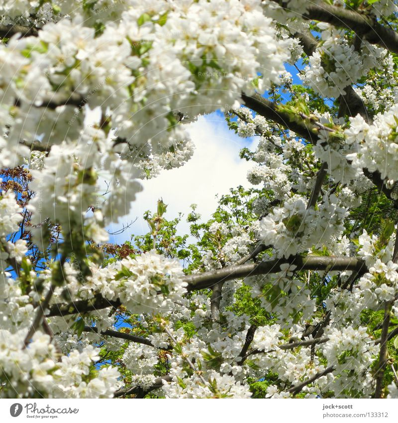 Summer Slump Trip Sky Spring Tree Blossom Sign Blossoming Fragrance Large Tall Positive Beautiful Moody Spring fever Optimism Caution Beginning Power Nature