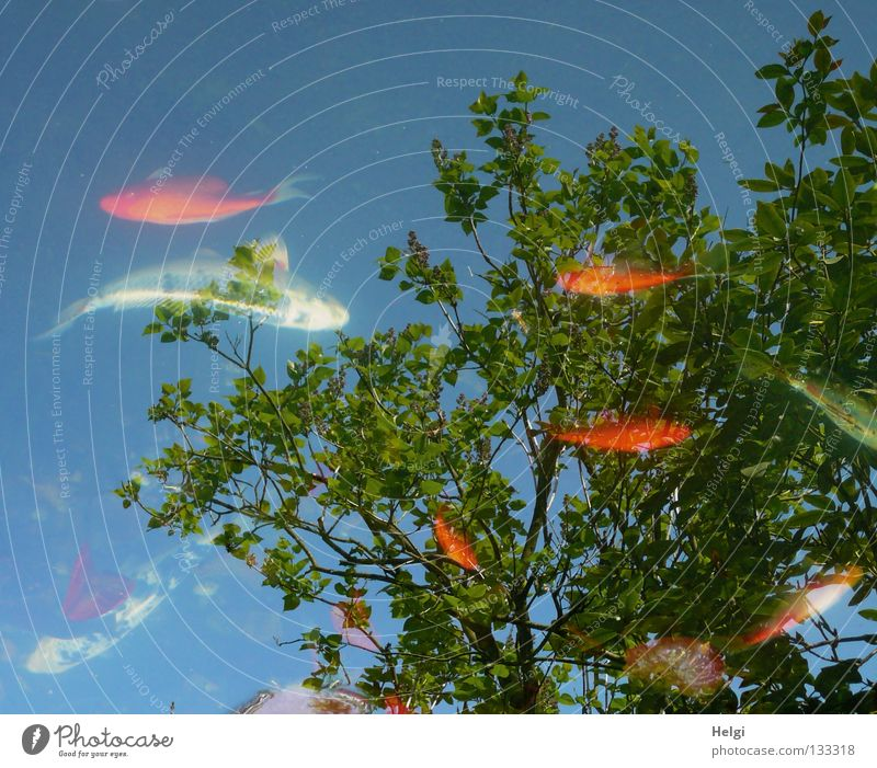 Fish in a garden pond with reflection of trees and sky Koi Goldfish Small Large White Black Dappled Yellow Red Pond Garden pond Multiple Tree Long Thin Brown