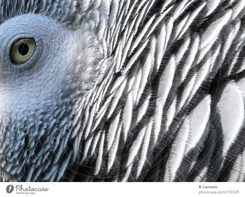 grey eye Parrots Bird Animal Zoo Grey Parrotlet B. Larsson Eyes
