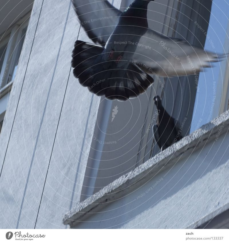 White Animal Window Gray Wall (barrier) Bird Flying Facade Dirty Aviation Feather Peace Pigeon Beak Judder Poultry