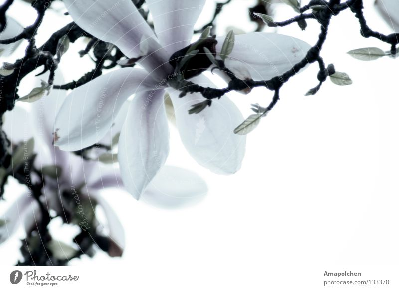 Nature Plant Beautiful Summer White Flower Life Blossom Spring Multiple Blossoming Near Twig Blossom leave Flowering plants Lily
