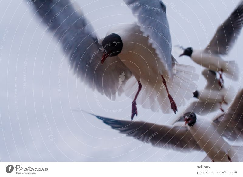 Sky Ocean Beach Bird Flying Appetite Baltic Sea Seagull Rügen Animal