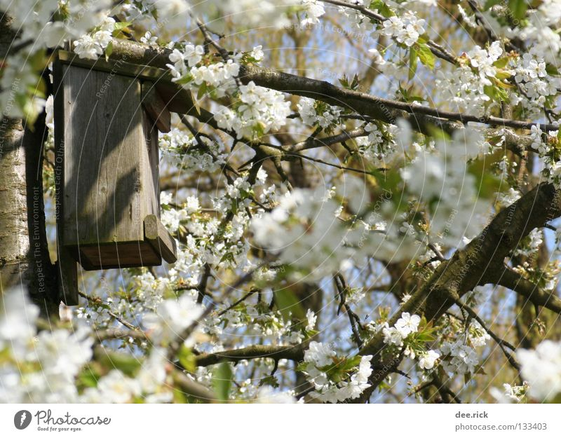 Room free! Birdhouse Nesting box Tree Blossom Cherry Spring May April Cherry tree Free trinity Cherry blossom