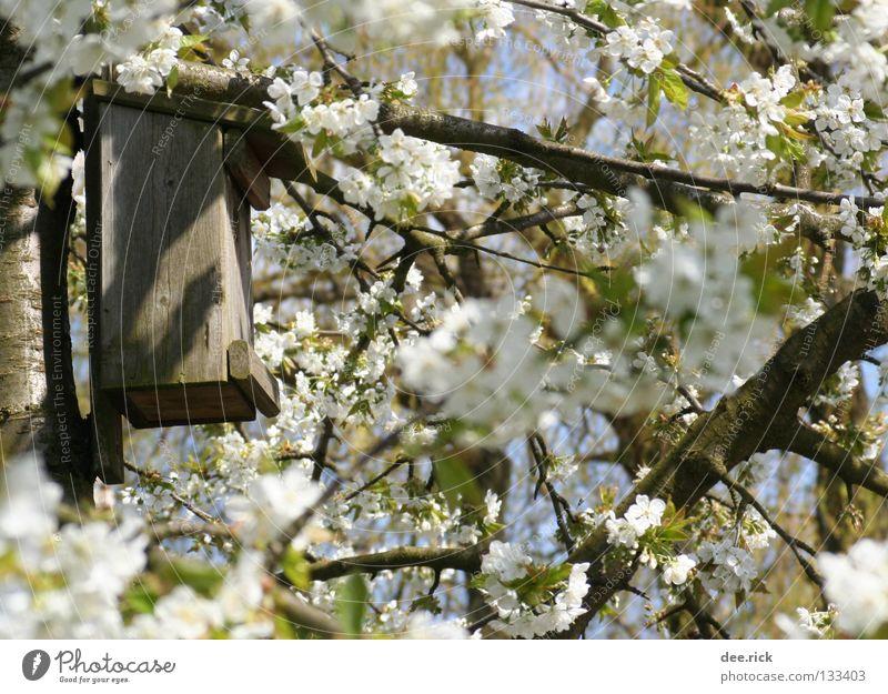 Tree Blossom Spring Room Free Cherry May April Cherry blossom Nest Cherry tree Birdhouse Nesting box