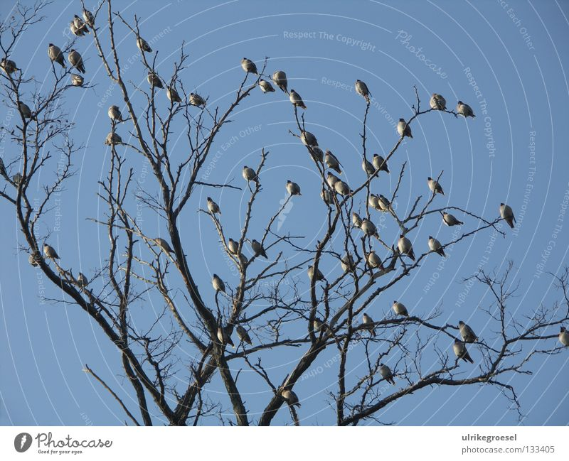 Meeting in the winter sun Tree Bird Multiple Treetop Cold Exterior shot Winter Sky Clarity Many Branch Blue Nature