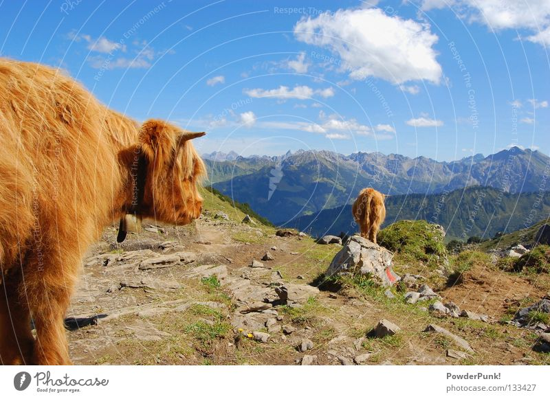 Muh cow in Allgäu Oberstdorf Kleinwalsertal Austria Cow Animal Brown Clouds Summer Hiking Mountaineering Playing Alps mountains August Stone Mountain hiking