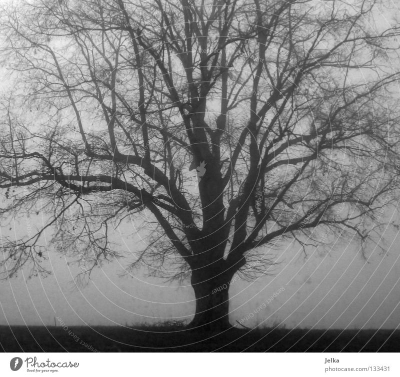 the black forest. Nature Fog Tree Gray Thuja trees Branch eternal Twig white B/W Branched foggy forests Black & white photo