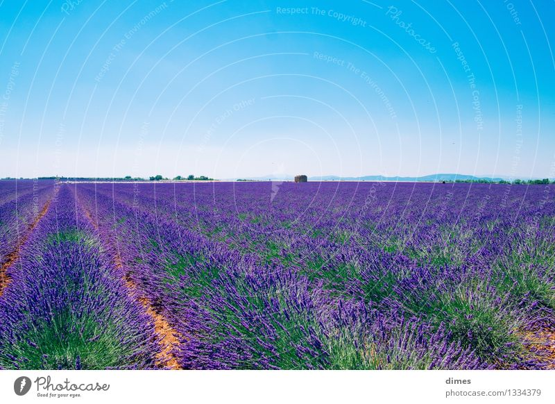 Lavender field in Provence Landscape Flower Bushes Blossom Field Emotions Spring fever France Colour photo Exterior shot Deserted Copy Space top
