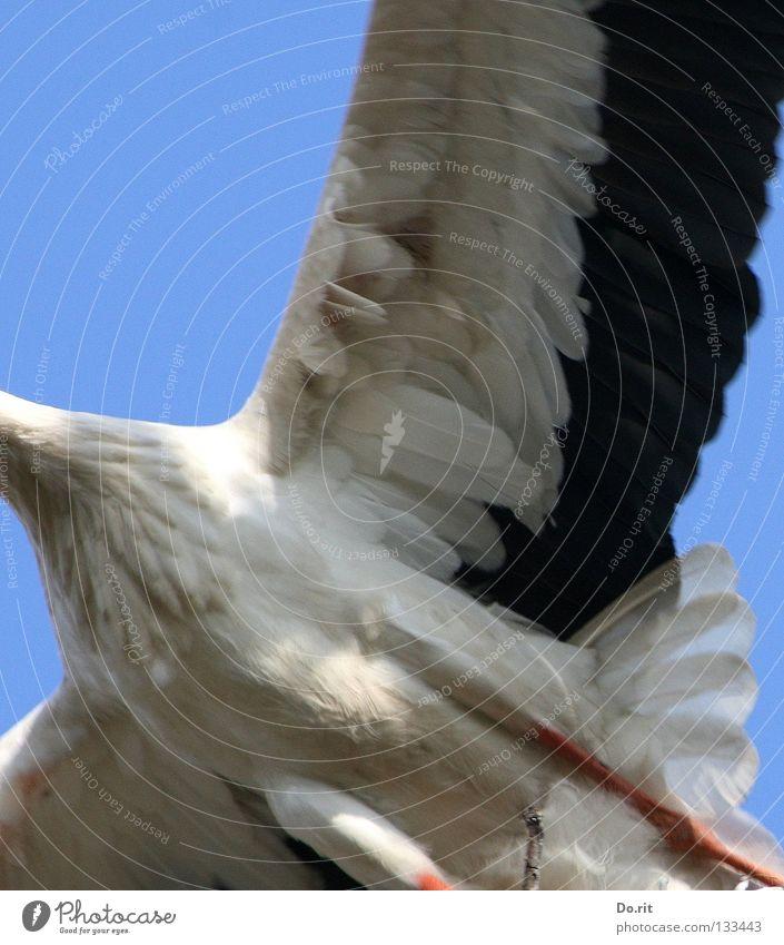 high achiever Stork White Stork Blue sky Poultry Feather Bird Birth Africa House Stork walking bird adebar stork bone severed long neck cut off long legs