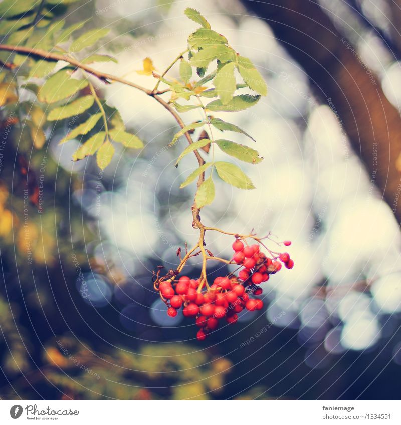 red & non-toxic Nature Sunlight Autumn Beautiful weather Tree Leaf Berries Rawanberry Twig Twigs and branches Suspended Square Branch Bunch of grapes