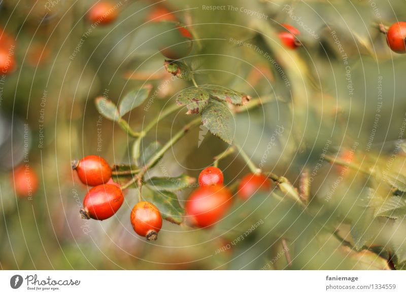 rose hips Nature Autumn Beautiful weather Bushes Garden Park Part of the plant Rose hip Leaf Undergrowth Autumnal Berries Fruit Red Gold Green Shade of green