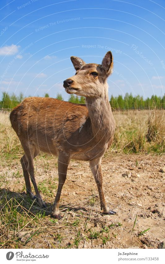 Nature Summer Animal Grass Brown Wild animal Beautiful weather Observe Dry Watchfulness Mammal Blue sky Caution Deer Drought