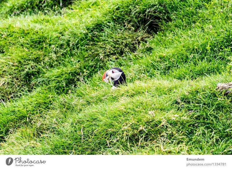 Puffin III Animal Wild animal Bird Animal face 1 Small Funny Cute Profile Colour photo Exterior shot Deserted Copy Space left Copy Space right Copy Space top