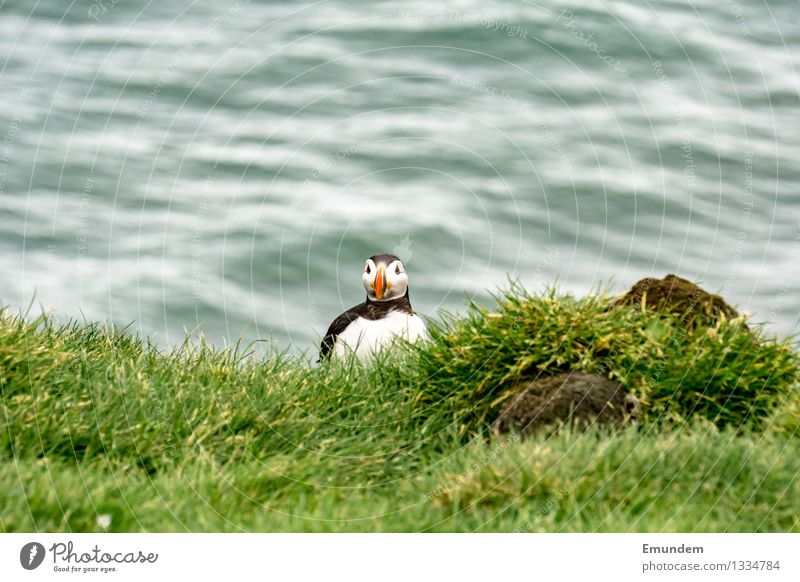 Puffin V Environment Nature Animal Iceland Wild animal Bird 1 Happiness Small Funny Cute Colour photo Exterior shot Copy Space top Day Animal portrait Looking