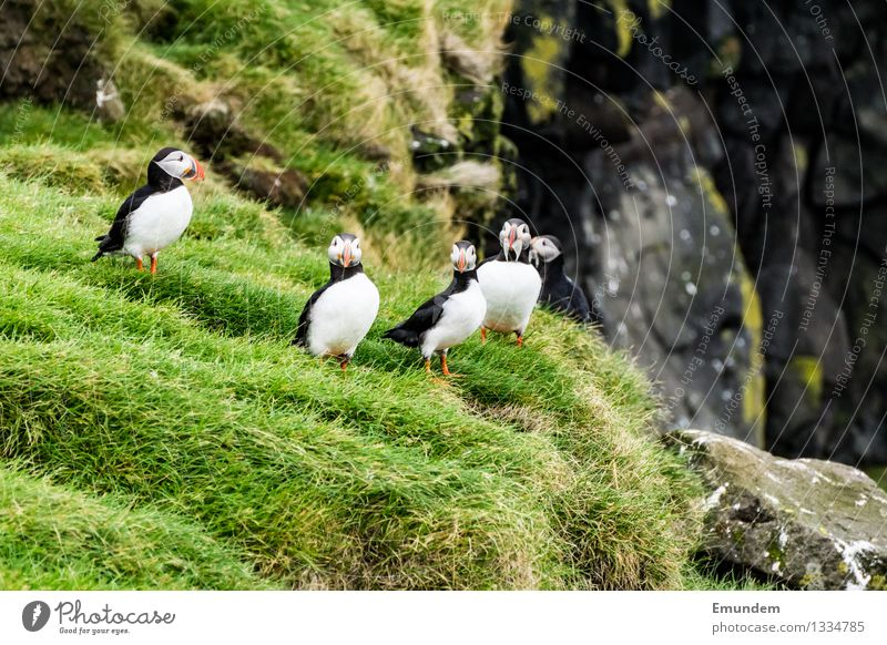Puffin IV Environment Nature Animal Iceland Wild animal Bird Group of animals Friendliness Happiness Funny Natural Cute Colour photo Exterior shot