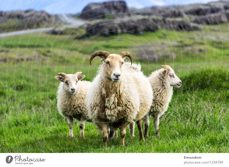 sheep Environment Landscape Meadow Hill Rock Iceland Animal Farm animal Sheep 3 Baby animal Animal family Cuddly Country life Wool Colour photo Exterior shot