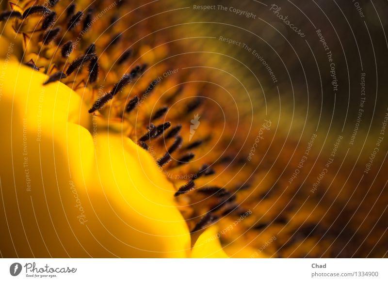 Sun Flower Food Sunflower seed Sunflower oil Nutrition Organic produce Wellness Harmonious Relaxation Meditation Thanksgiving Environment Nature Plant Blossom