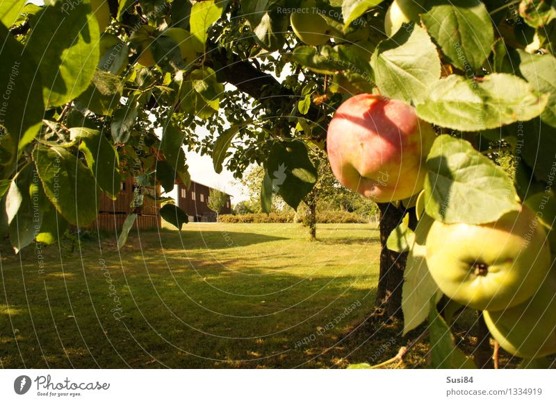 Apple tree in the garden Plant Autumn Tree Grass Agricultural crop Lawn Garden Barn Warehouse Gardenhouse Healthy Sustainability Natural Juicy Sweet Green Red