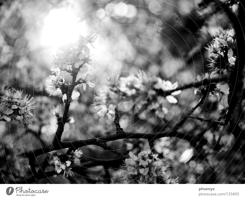 ray of hope Black White Bushes Blossom Meadow Light Blur Spring Hope Summer Glittering Tree Back-light Blossoming selective sharpness Branch Sun freehand