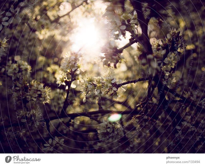 Tree Sun Summer Yellow Dark Meadow Blossom Spring Bright Glittering Hope Bushes Violet Branch Blossoming Progress