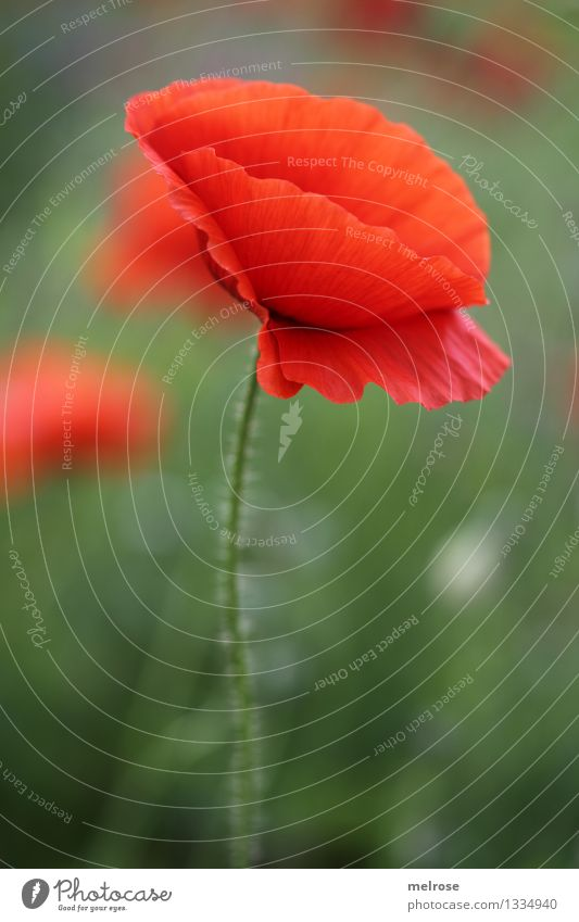 simple but MOHN Food Poppy Style Design Nature Plant Summer Beautiful weather Flower Blossom Wild plant Pot plant Corn poppy pedicel Field Intoxicant