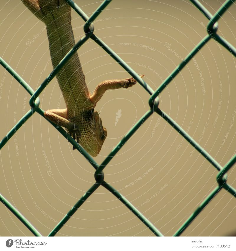 rest Garden Animal To hold on Long Green Watchfulness Saurians Lizards Agamidae Reptiles Asia Fence Wire netting Wire netting fence Colour photo Exterior shot