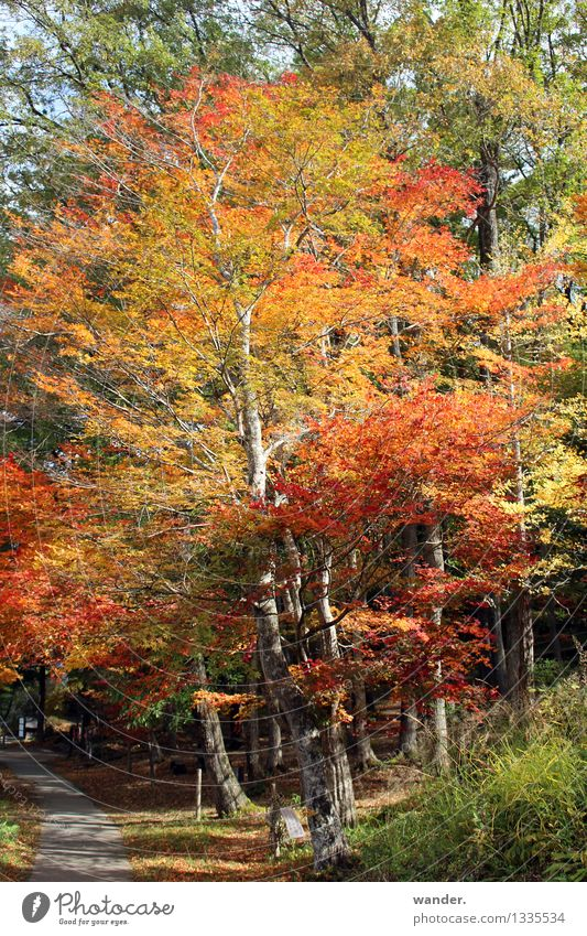 Autumn in Japan - Tree with leaf colouring Nature Plant Sun Sunlight Beautiful weather Park Forest Asia Multicoloured Yellow Gold Orange Red Colour Colour photo