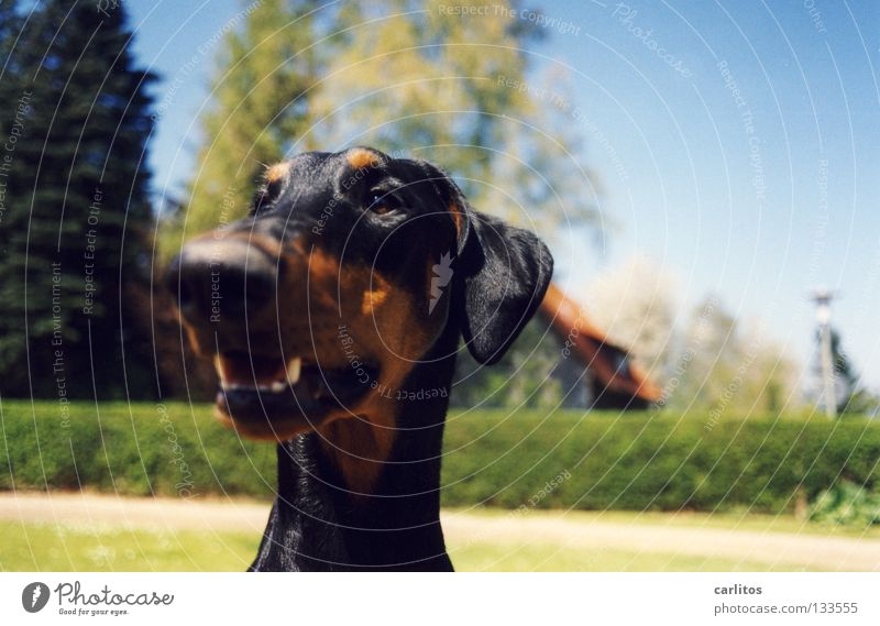 Good Riecher Doberman Dog Scent Posture Boast Mammal Safety Joy dober woman not a fighting dog cuddly dog Odor read the other newspaper frown