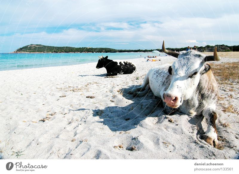 finally vacation ! Beach Ocean Cow Vacation & Travel Summer Sunbathing Coast France Corsica Joy Sand Funny bizarre Bay Mediterranean sea recreation Warmth
