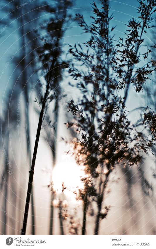 Sky Blue Sun Summer Relaxation Warmth Grass Dream Power Wind Force Beautiful weather Soft Physics Delicate Common Reed