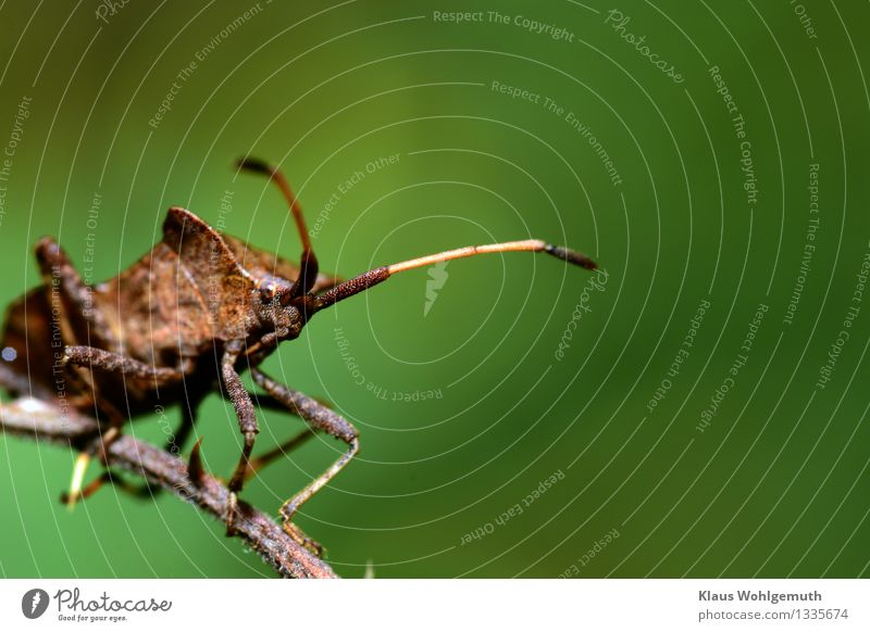 mind Environment Nature Animal Summer Autumn Park Forest Beetle Squash bug 1 Observe Looking Sit Wait Brown Gray Green Bug Colour photo Exterior shot Close-up