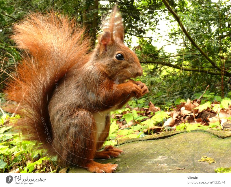 gimme nuts! Squirrel Oak tree Rodent Mammal Pelt Tails Bushy Button eyes Nutrition Forest Hair and hairstyles Paintbrush Sweet Cute Brown Paw Spring Tree