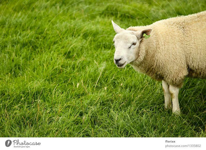 Texel sheep Food Meat Dairy Products Nutrition Agriculture Forestry Environment Animal Grass Farm animal 1 Observe Think Stand Wait Natural Green White Happy