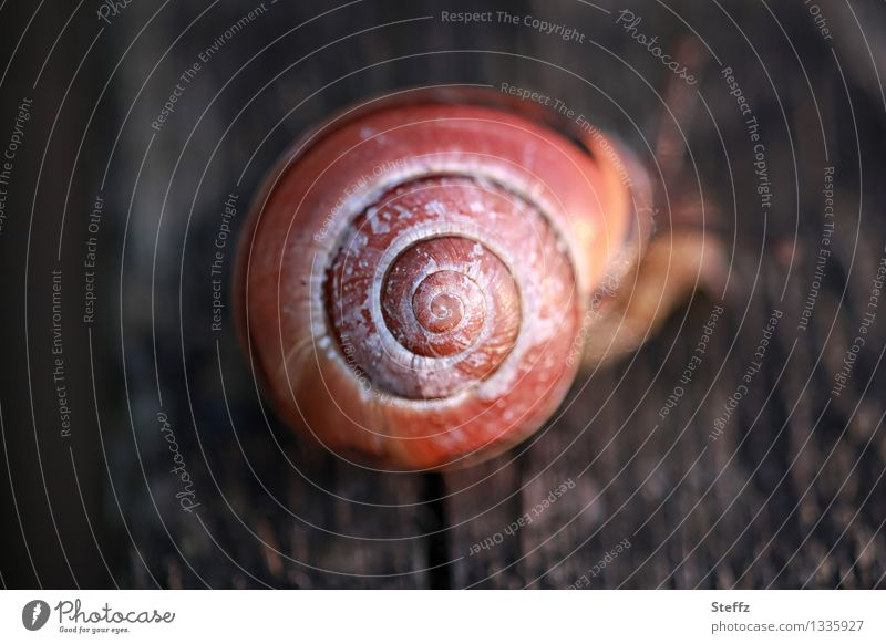 spiral snail Nature Snail Snail shell Spiral Round Brown Symmetry Middle Proportional Geometry Subdued colour Exterior shot Deserted Neutral Background Day Blur