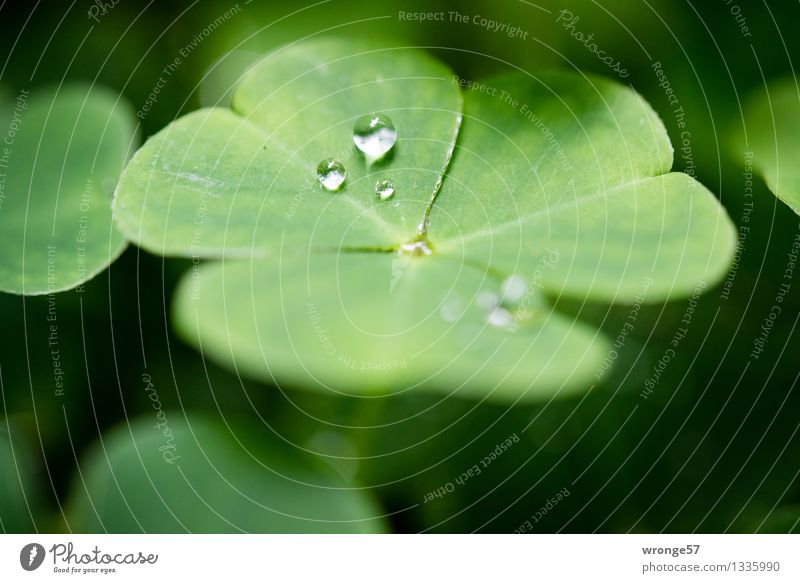elf tears Plant Drops of water Summer Leaf Clover Cloverleaf Forest Good luck charm Four-leafed clover Small Green Black Close-up Macro (Extreme close-up)