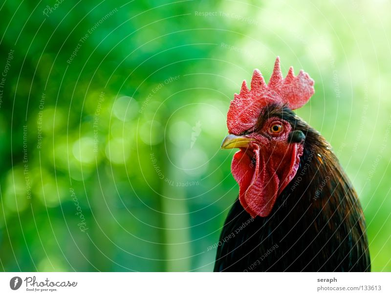 Rooster Animal Bird Observe Feather Pasture Farm Watchfulness Organic produce Pet Scream Organic farming Beak Barn fowl Crow Crest