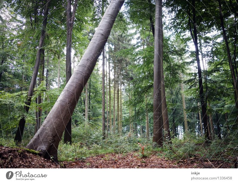 So he runs short Environment Nature Summer Autumn Tree Mixed forest Tree trunk Woodground Leaf Forest Stand Natural Sustainability Tilt Tumble down Diagonal